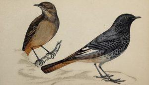 Dos Colirrojos Tizón (Phoenicurus Ochruros) bien dibujados
