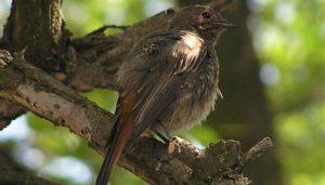 Colirrojo Phoenicurus Ochruros sobre un árbol