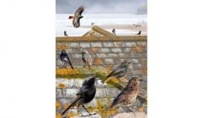 Ilustración de Colirrojo Tizón (Phoenicurus Ochruros) y otras aves