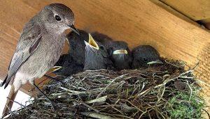 Colirrojo Tizón (Phoenicurus Ochruros) en un nido con sus crías