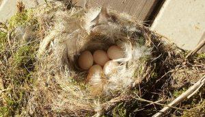 Huevos del Colirrojo Tizón (Phoenicurus Ochruros)