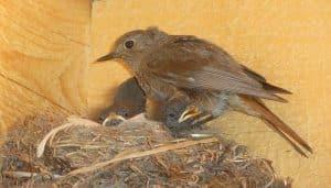Un Colirrojo Tizón (Phoenicurus Ochruros) en su nido