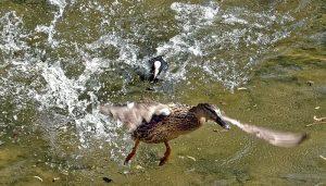 Focha Común (Fulica Atra) peleando con un pato