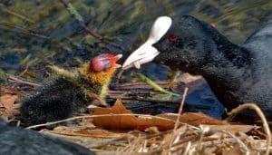 Una Focha Común con su polluelo