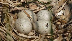 Huevos de Focha Común (Fulica Atra)