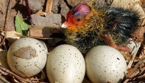 Huevos y crías de Focha Común (Fulica Atra)