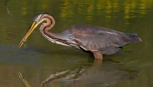 Garza Imperial (Ardea purpurea) pescando