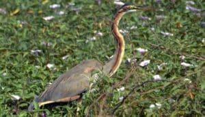 Garza Imperial (Ardea purpurea) caminando