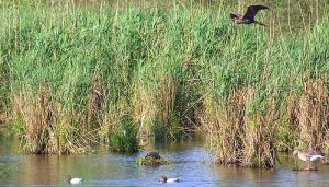 Garza Imperial (Ardea purpurea) volando sobre un lago