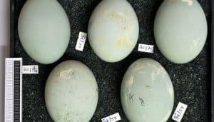 Huevos de la Garza Imperial (Ardea purpurea)