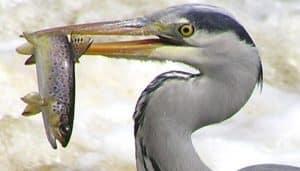 Hermoso ejemplar de Garza Real con un pescado en su pico