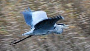 Hermosa Garza Real (Ardea cinerea) volando