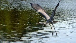 La gran Garza Real (Ardea cinerea) volando