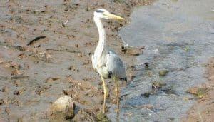 Una Garza Real (Ardea cinerea) caminando en lago