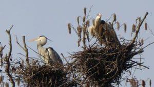 Garza Real (Ardea cinerea) en su nido a lo alto