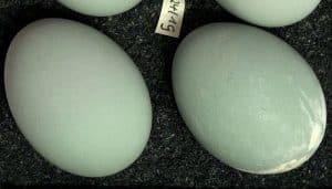 Los huevos de una Garza Real (Ardea cinerea)