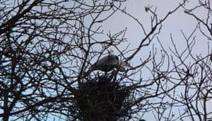 El nido de las Garzas Reales