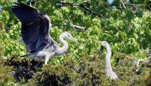 Pareja de Garza Real (Ardea cinerea) en su nido