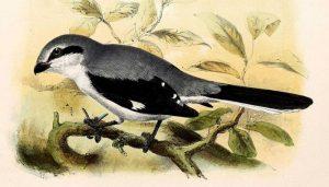 Excelente ilustración del Picapuercos (Lanius excubitor)