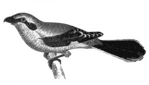 Dibujo del Picapuercos (Lanius excubitor) sobre una rama
