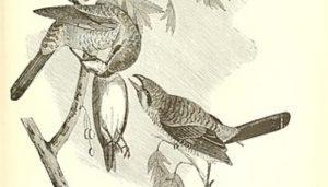 Ejemplar Alcaudón Norteño (Lanius excubitor) en dibujo