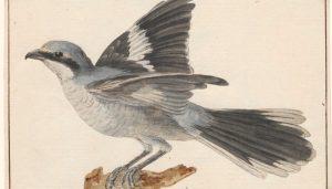 Un Picapuercos (Lanius excubitor) dibujado