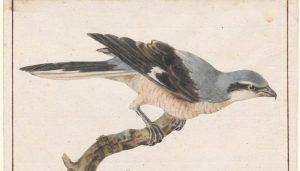 La Ilustración de un Alcaudón Norteño (Lanius excubitor)