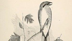 Dibujo del Picapuercos (Lanius excubitor)