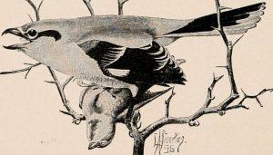 Ilustración de un Alcaudón Norteño (Lanius excubitor)
