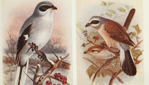 Dos ejemplares Picapuercos (Lanius excubitor) en dibujo