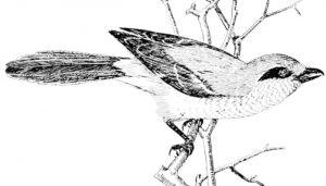 El Picapuercos (Lanius excubitor) dibujado sobre una rama