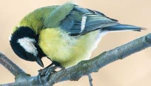 Carbonero Común (Parus major) sobre una rama