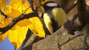 Carbonero Parus major en la naturaleza