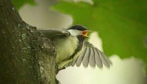 El Carbonero Común (Parus major) mostrando el ala