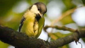 Bello Carbonero Común (Parus major) en un árbol