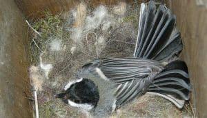 El nido de un Carbonero Común
