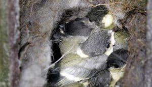 Pequeñas crías del Carbonero Común