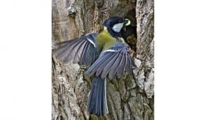 Carbonero Común (Parus major) en su nido