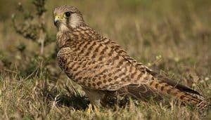 Cernícalo Vulgar (Falco tinnunculus) en la naturaleza