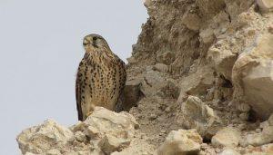 Cernícalo Vulgar (Falco tinnunculus) entre las rocas