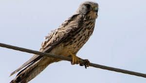 El Cernícalo Vulgar (Falco tinnunculus) en un cable