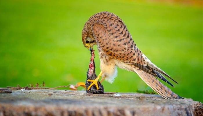Cernícalo Vulgar (Falco tinnunculus) alimentándose