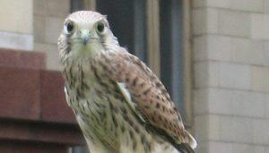 Un Cernícalo Vulgar (Falco tinnunculus)
