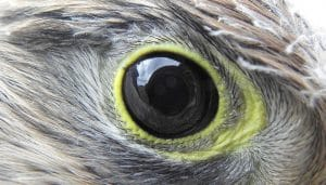 El ojo del Cernícalo Vulgar (Falco tinnunculus)