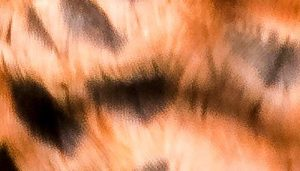 Diseño de las plumas del Cernícalo Vulgar