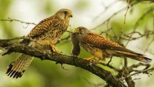 Una pareja de Cernícalos Vulgares (Falco tinnunculus) en una rama