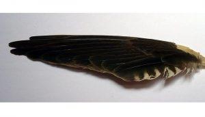 Plumas del Cernícalo Vulgar (Falco tinnunculus)