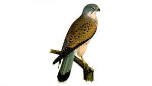 Dibujo del Cernícalo Vulgar (Falco tinnunculus)
