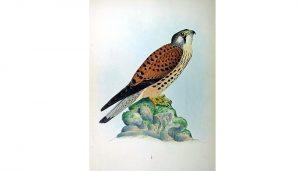 Hermosa ilustración del Cernícalo Vulgar (Falco tinnunculus)