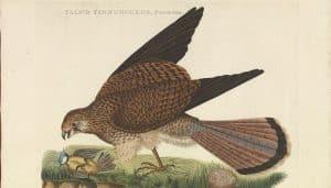 El Cernícalo Falco tinnunculus en dibujo